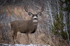 Final Mule Deer (1 of 1).jpg
