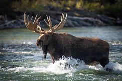 Final Moose (1 of 1).jpg