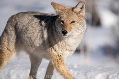 Final Coyote (1 of 1).jpg