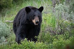 Final Black Bear (1 of 1).jpg