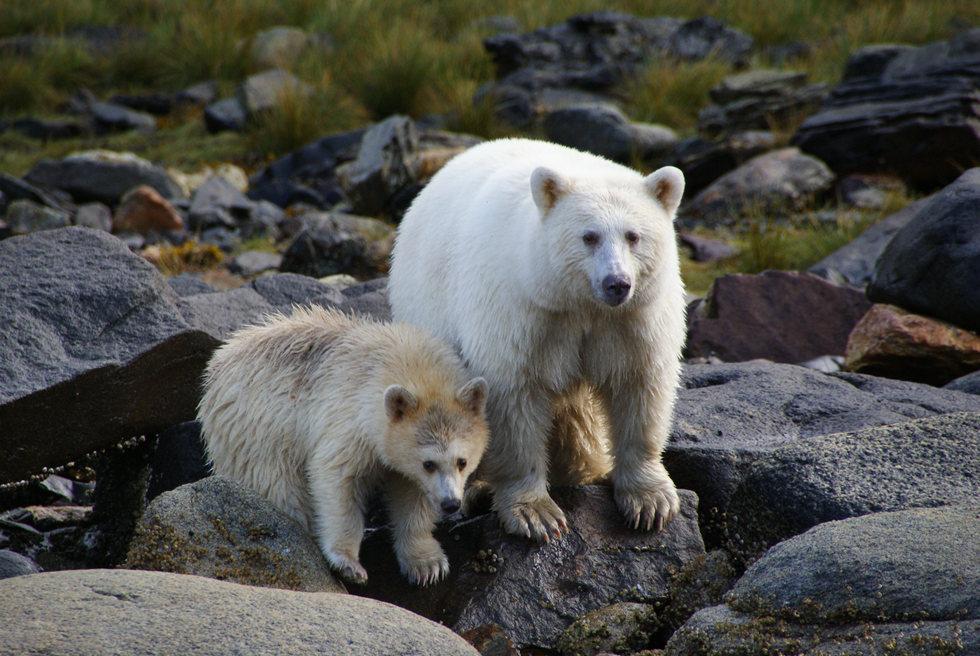 Spirit Bears.
