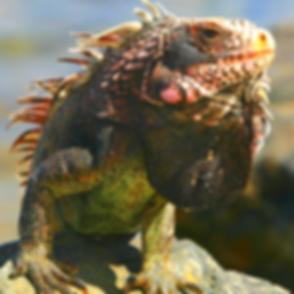 land-iguana-galapagos