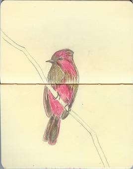 pinkPhoebe.jpg