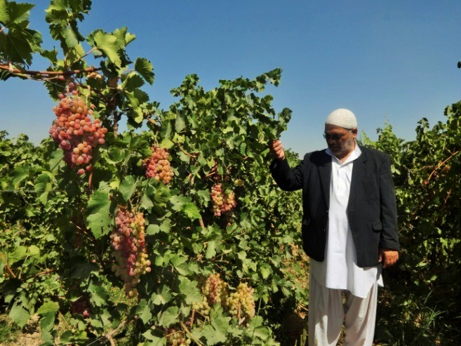 CODE アフガニスタンぶどうプロジェクト