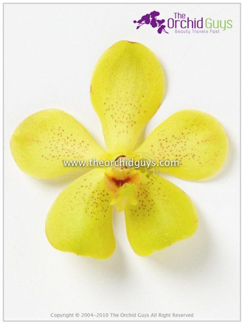 Mokara Yellow