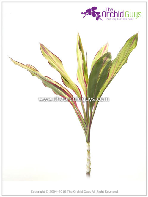 Variegated Cut Top Cordyline