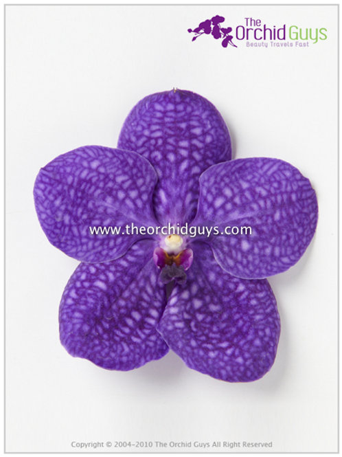 Vanda Dark Purple