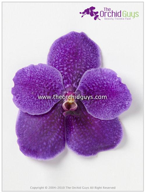 Vanda Dark Purple