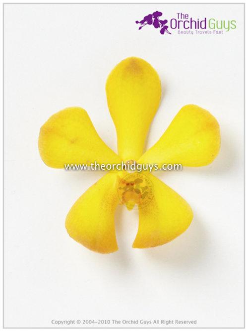 Mokara Chaophaya Yellow