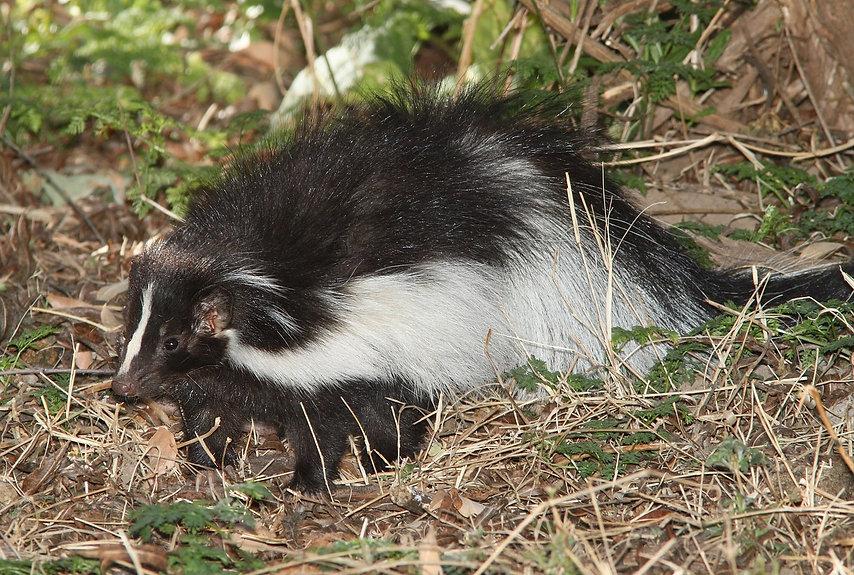 hooded-skunk-1591311_1280.jpg
