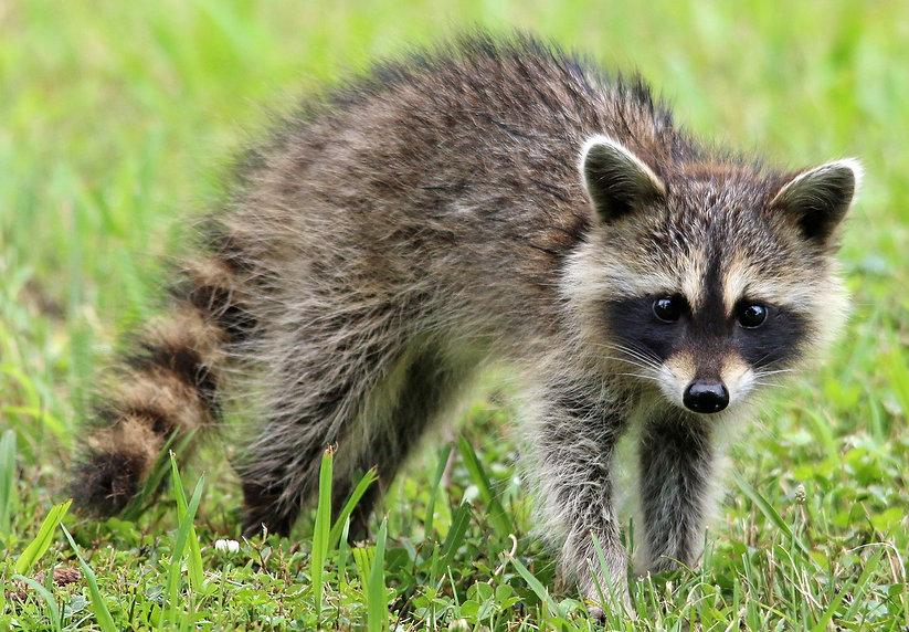 raccoon-1905528_1280.jpg