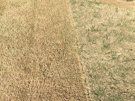 "Why ""Scalping"" Your Bermuda or Zoysia Lawn is Important"