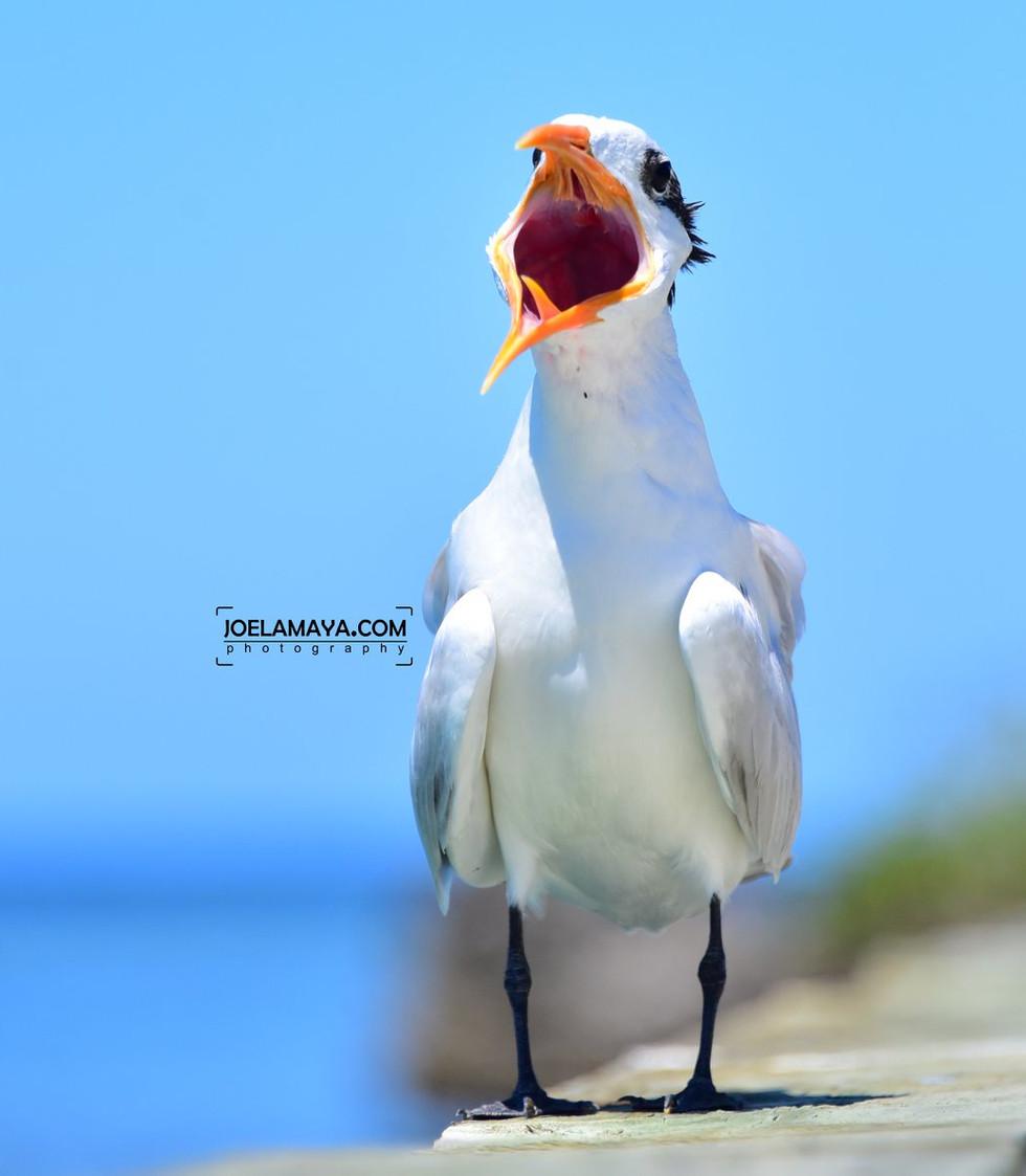 white bird orange beak .jpg