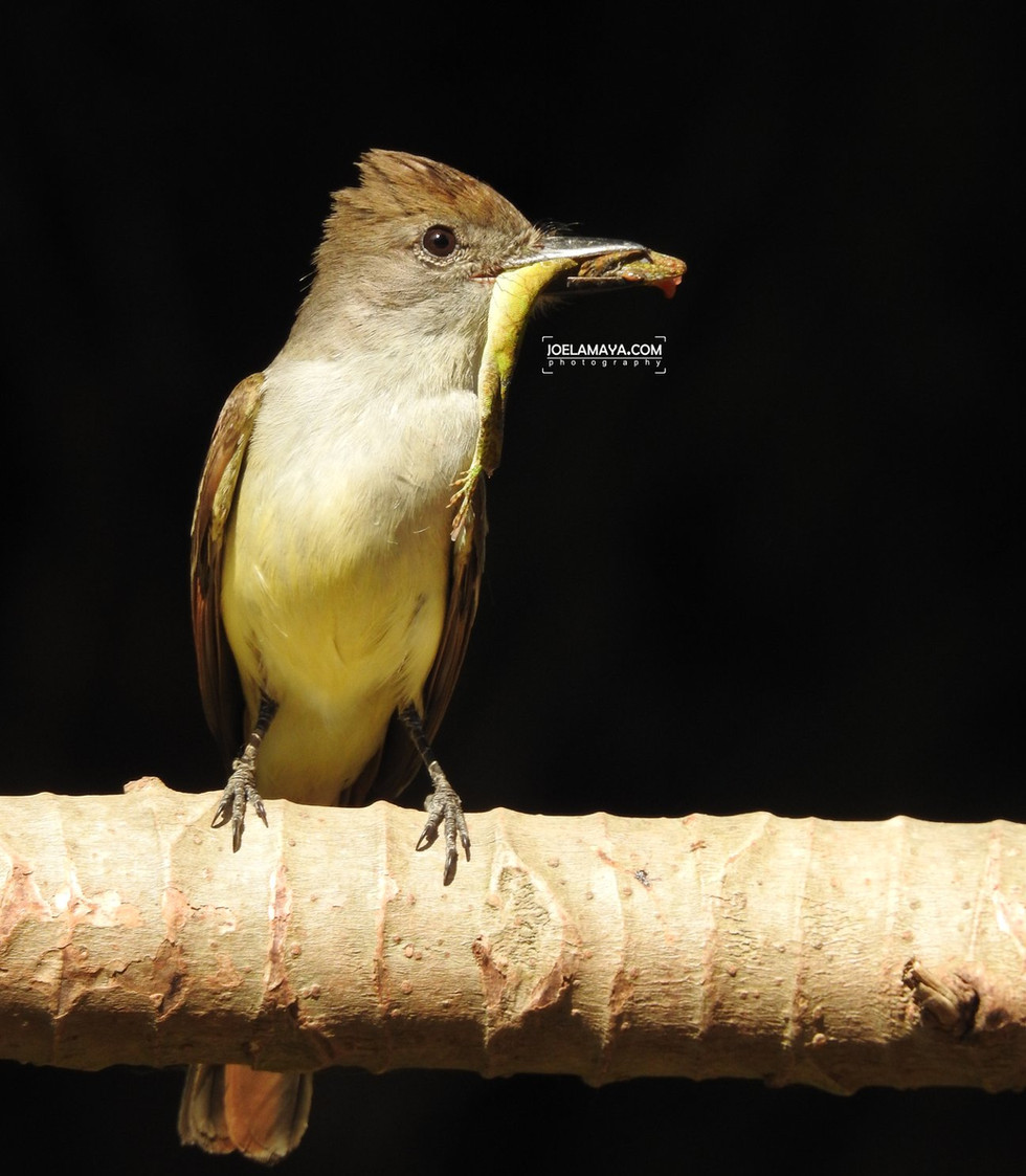 brown-crested flying cacher .jpg