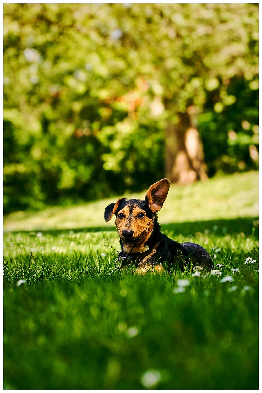 Diego der Hundewelpe hat ein Geräusch ausgemacht und spitzt das linke Ohr nach oben in die Luft um herauszufinden, wo das denn herkommen könnte.