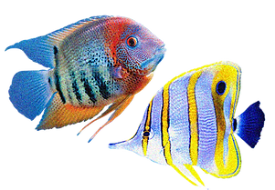 Ornamental fish.png