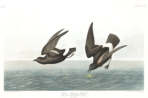 Least Stormy Petrel / A friend is more to be longed for