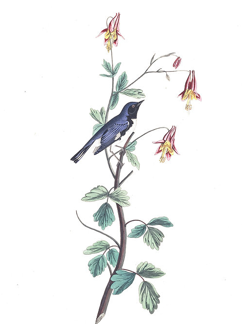 Black-Throated Blue Warbler / We turn not older with years