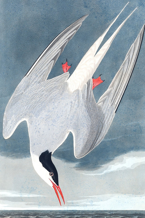 Arctic Tern / The Holy Ghost over the bent World broods