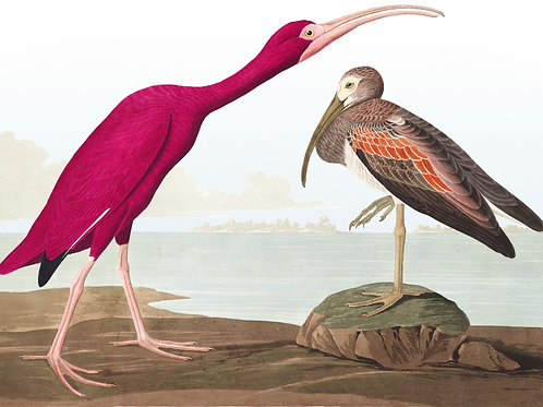 Scarlet Ibis / We are the only poets