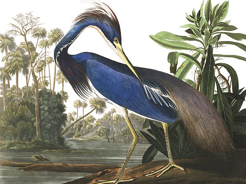 Louisiana Heron / There is no creation that does not have a radiance