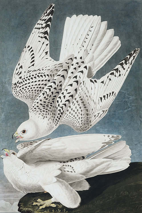 Icelandic Falcon / We are the only poets