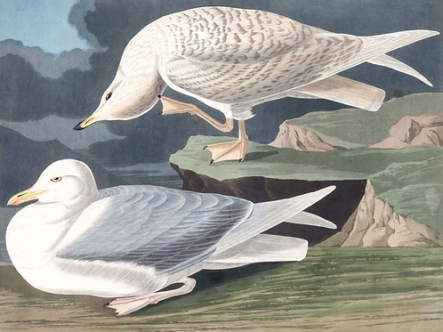 White-Winged Silvery Gull /  I love you without knowing how