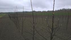 Newplanted Rubinola