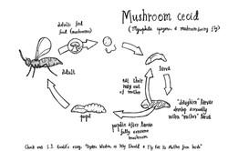 Mushroom cecid life cycle