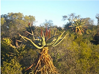 Aloe ferox after a leaf harvest.png