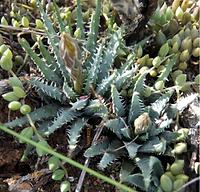 Aloe humilis.png