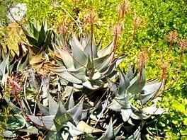 Aloe comptonii inflorescence