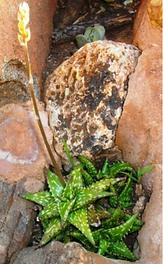 Aloe juncea