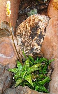 Aloe juncea.png