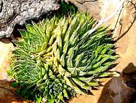 Aloe aristata multiple leaf rosettes.png