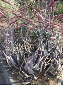 Aloe globuligemma.png