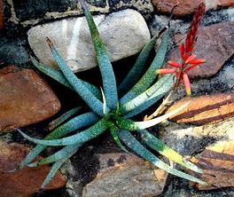 Aloe pictifolia