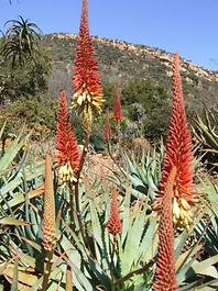 Aloe mutabilis