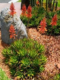 Aloe brevifolia flourishing in Australia