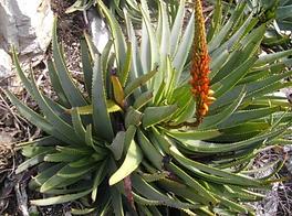 Aloe succotrina flowering