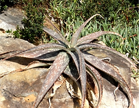 Aloe greeni on rock.png