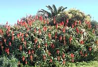 Aloe arborescens in a big garden.png