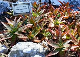 Aloe graminicola