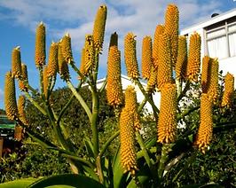 Aloe thraskii flowers