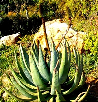 Aloe aculeata in the Walter Sisulu Natio