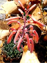 Aloe aristata bearing fruit