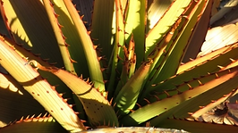 Aloe lineata var. muirii differences in resilience