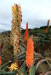 Aloe africana leaves