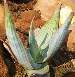 Aloe striata young leaves
