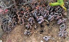 Aloe longistyla fruit capsule husks